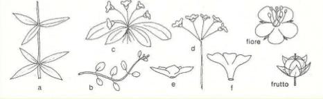Immagine Primulaceae