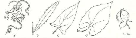 Immagine Convolvulaceae