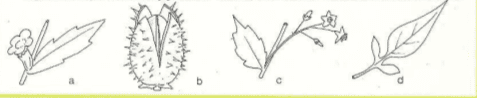 Immagine Solanaceae