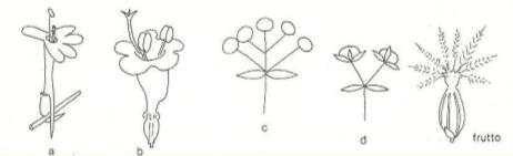 Immagine Valerianaceae