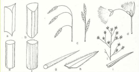 Immagine Juncaceae