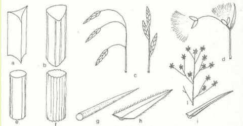 Immagine Cyperaceae